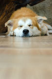 Close-up face of cute brown dog sleeping on floor. Brown dog lying on floor and look for the camera Stock Image