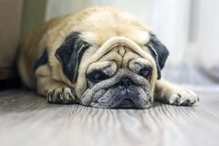 Close-up face of a cute dog pug. stock image