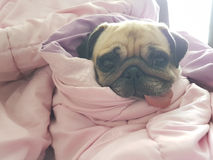 Close up face of cute dog puppy pug sleep rest on sofa bed with tongue out and wrap blanket. Because of weather cold Royalty Free Stock Photo