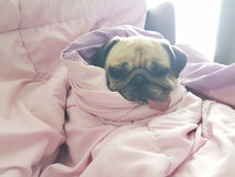 Close up face of cute dog puppy pug sleep rest on sofa bed with. Tongue out and wrap blanket because of weather cold Stock Image