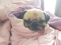 Close up face of cute dog puppy pug sleep rest on sofa bed with tongue sticking out and wrapped blanket because of weather cold Royalty Free Stock Photography