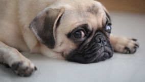 Close-up face of cute pug dog stock video