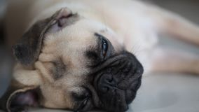 Close-up face of cute pug dog stock footage