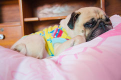 Close up face of Cute pug puppy dog sleeping on the bed Stock Photo