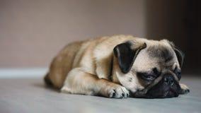 Tired dog, pug, close-up, falls asleep