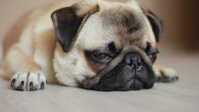 Sleepy dog, pug, close-up, falls asleep