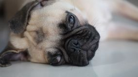 Close-up face of cute pug dog stock video footage