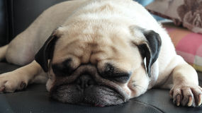 Close up face of Cute pug puppy dog sleeping in sofa Stock Photography
