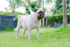 Close-up face of cute puppy Pug stand on green grass field. Stock Image
