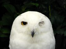 Snowy owl. Close up face of cute Snowy owl (Bubo scandiacus) it is one of largest species of owl. It's a white owl of the typical owl family stock photos