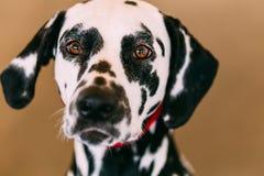 Close Up Of The Face Of A Dalmatian Dog Stock Photos