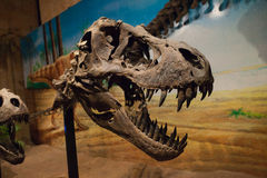 Close up face dinosaur Royalty Free Stock Image