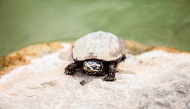 Close up face of dirty turtle on stone in swam location blurry b. Ackground Stock Photography
