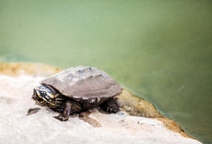 Close up face of dirty turtle on stone in swam location. Outdoor shot Stock Photography