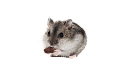 Close-up face Djungarian hamster on white background.  Royalty Free Stock Photography