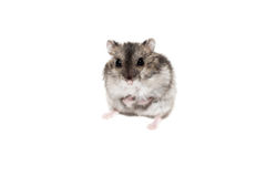 Close-up face Djungarian hamster on white background Stock Image