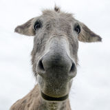 Close up face of a donkey Royalty Free Stock Photo