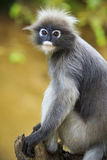 Close up face of dusky leaves monkey in wild Stock Images