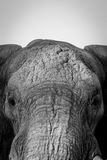 Close up of the face of an Elephant. stock photography