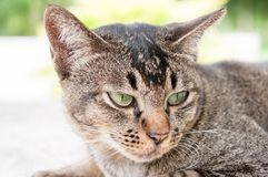 Close-up face and eyes of  cute brown  cat. Close-up face and eyes of  cute brown thailand cat while  looking something Royalty Free Stock Photos