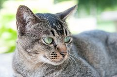 Close-up face and eyes of  cute brown  cat. Close-up face and eyes of cute brown thailand cat while looking to something Royalty Free Stock Images
