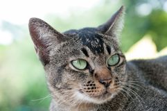 Close-up face and eyes of  cute brown  cat. Close-up face and eyes of cute brown thailand cat while looking up to something Royalty Free Stock Photos