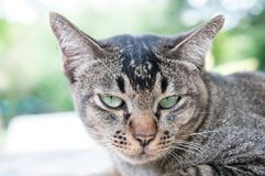 Close-up face and eyes of cute brown cat. Close-up face and fierce eyes of cute brown thailand cat while lying on table stock photos