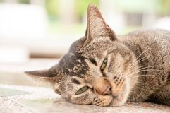 Close-up face and eyes of  cute brown  cat. Close-up face and sleepy eyes of cute brown thailand cat while looking to something Royalty Free Stock Photography