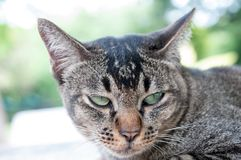 Close-up face and eyes of  cute brown  cat. Close-up face and sleepy eyes of cute brown thailand cat while looking to something Royalty Free Stock Photos