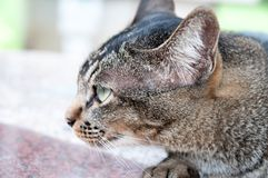 Close-up face and eyes of  cute brown  cat. Close-up face and sleepy eyes of cute brown thailand cat while looking to something Royalty Free Stock Photo