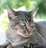 Close-up face and eyes of  cute brown  cat. Close-up face and eyes of  cute brown thailand cat while  looking something Royalty Free Stock Photo