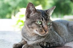 Close-up face and eyes of  cute brown  cat. Close-up face and eyes of  cute brown thailand cat while  looking something Stock Photography