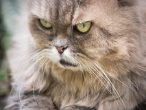 Close up face from female gray persian cat with long hair sit in. Garden with soft focus background Stock Image