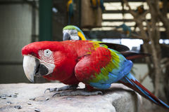 Close up face of Green-winged Macaw, Ara chloropterus eating sun. Flowers seed on rock ground Stock Photography