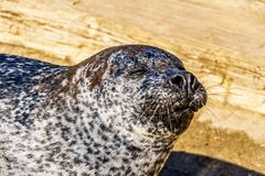 Close up of the Face of a Harbor Seal. At Neeltje Jans island, at the Delta Works Surge Barrier in the province of Zeeland in the Netherland stock images