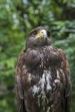 Close up face of hawk bird Stock Photo