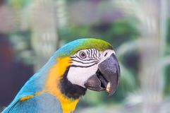 Close up face head of blue and yellow macaw or blue and gold macaw bird. Standing perch on the branch in cage Stock Image