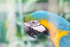 Close up face head of blue and yellow macaw or blue and gold macaw bird. Standing perch on the branch in cage Royalty Free Stock Photos
