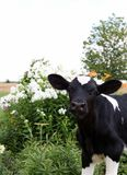 Young holstein calf stands in the yard beside white flox flowers royalty free stock images