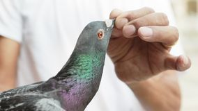 Close up face of homing speed racing pigeon stock video footage