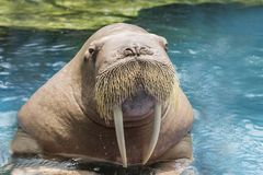 Close up face ivory walrus in deep sea water stock photography