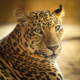 Close up face of Jaguar animal Stock Images