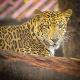 Close up face of Jaguar animal Royalty Free Stock Photography
