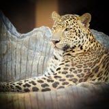 Close up face of Jaguar animal Royalty Free Stock Photo