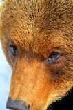 Close up of the face of a large brown bear. Detail of the face of a large brown bear with an expression of intelligence and interest, almost as if he was royalty free stock photography