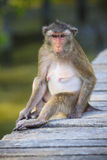 Close up face of long tailed macaque monkey in wilderness Royalty Free Stock Photo