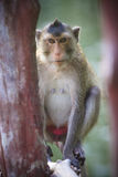 Close up face of long tailed macaque monkey in wilderness Stock Image
