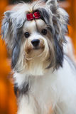 Close up face of lovely biver yorkshire terrier dog Stock Image