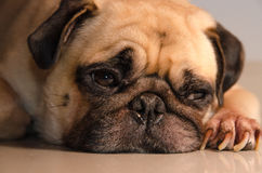 Close-up face lovely happy white fat cute pug dog rest sleep laying on the floor under warm summer sunlight making funny face Royalty Free Stock Images