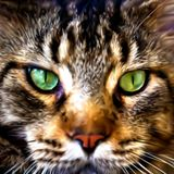 Close up face of Maine Coon Vector. Close up face of Maine Coon cat . Vector illustration Stock Photos